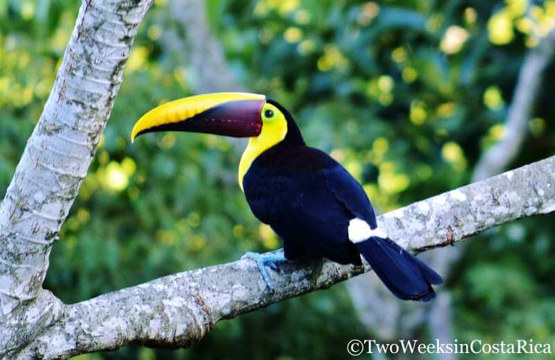 Chestnut-mandibled Toucan | 2 Week Itinerary for Costa Rica