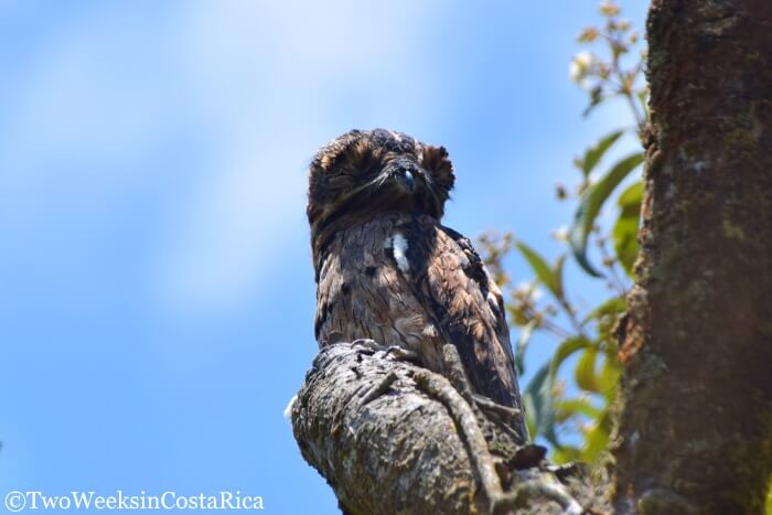Common Potoo at Arenal Volcano National Park