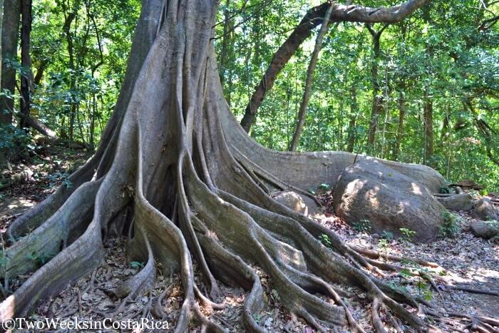 Ceiba Tree at Arenal Volcano National Park