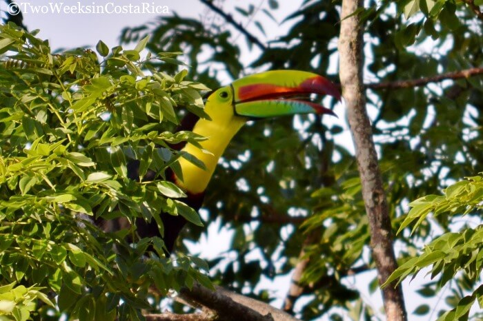 Keel-billed Toucan at Arenal Volcano National Park