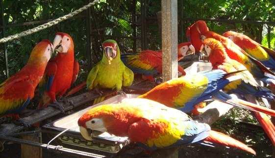 Scarlet Macaws Picture