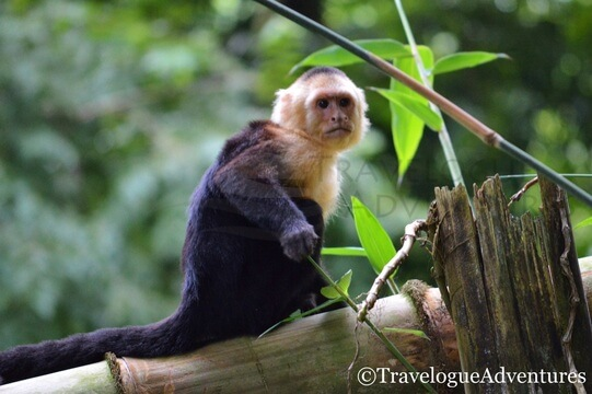 White Faced Monkey | A One-Week Itinerary for Costa Rica