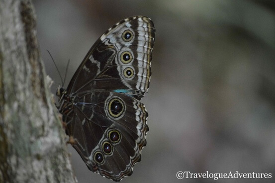 Blue Morpho Butterfly Image