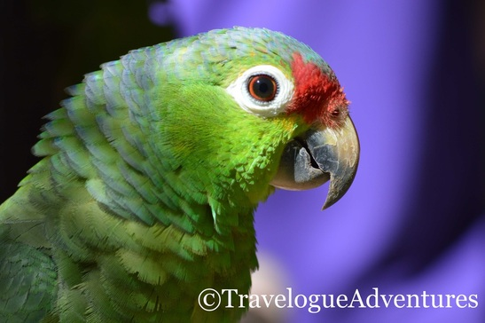 Parrot in Costa Rica