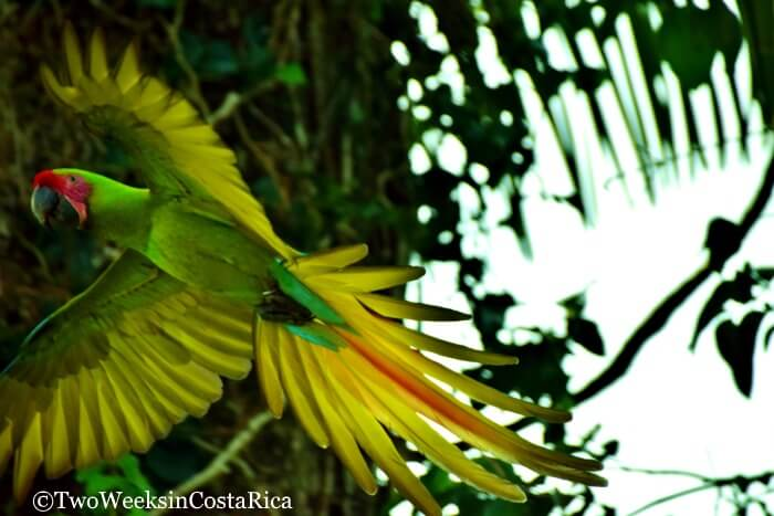Green Macaw at Ara Manzanillo