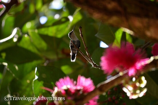 Hummingbird, Nauyaca Waterfall, Costa Rica Picture