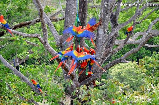 Scarlet Macaw Feeder Image