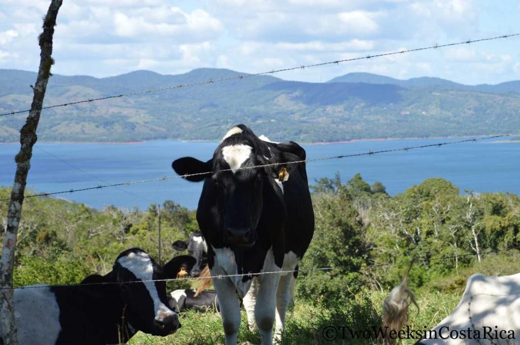 Cow near Lake Arenal