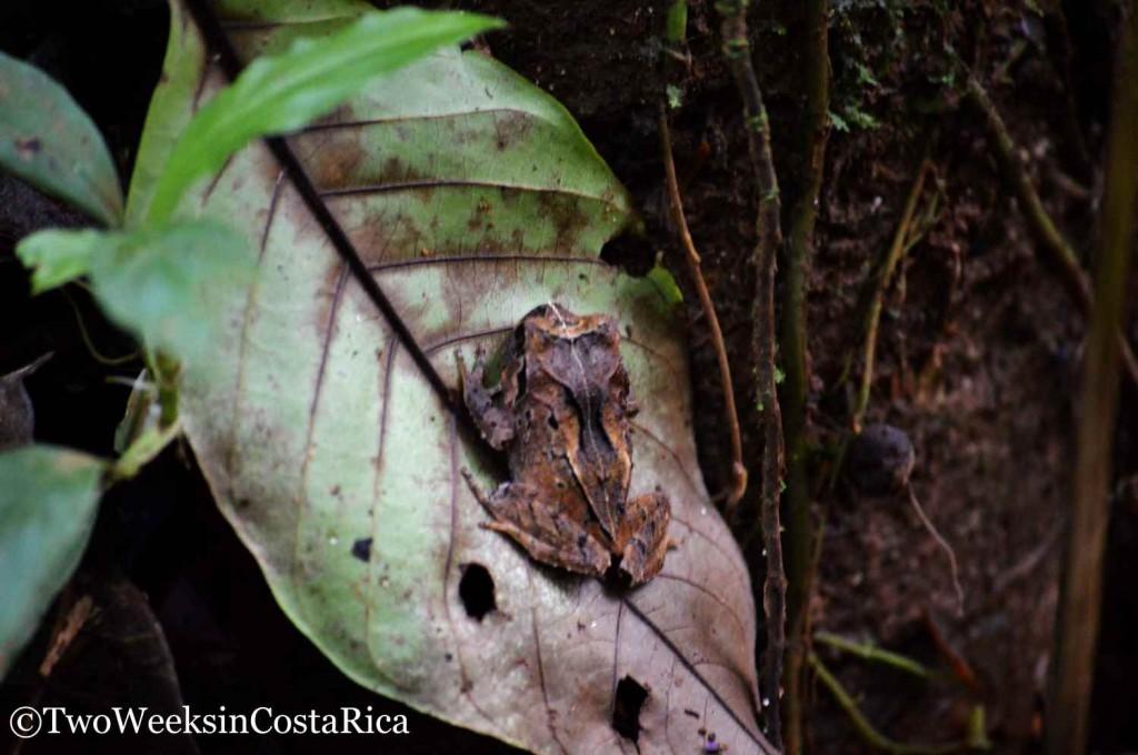 Frog at Tirimbina