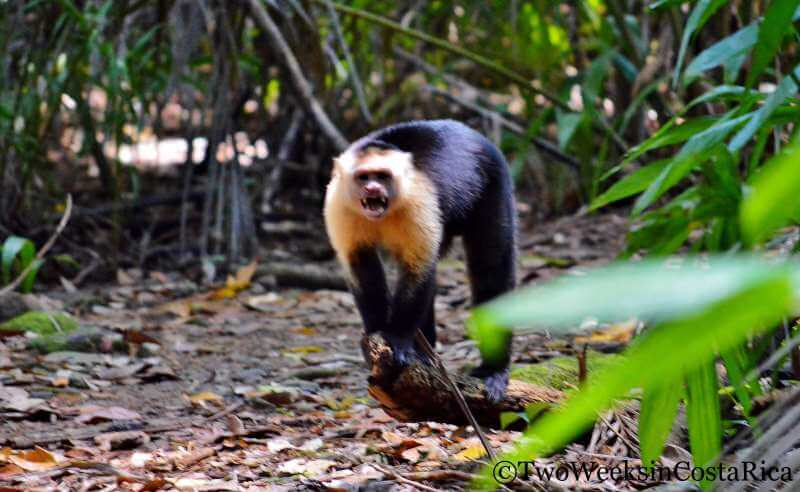 White-faced Monkey Attack | Two Weeks in Costa Rica