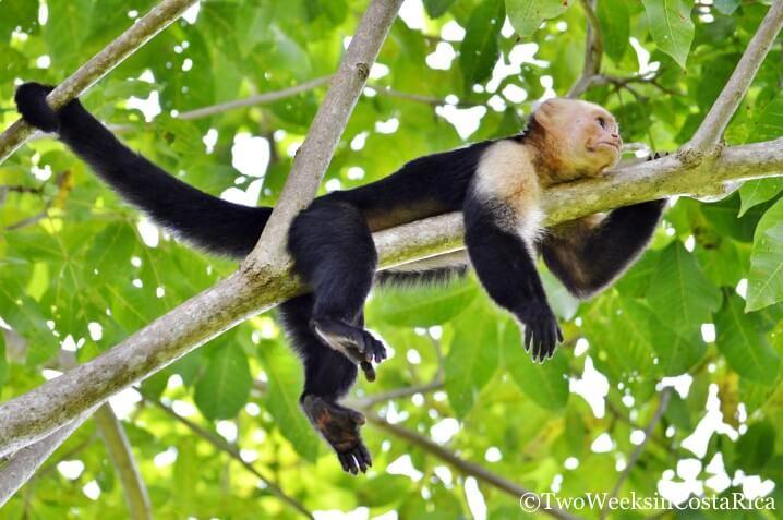 Monkey Manuel Antonio | Two Weeks in Costa Rica