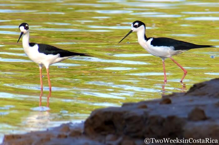 Black-necked Stilt | Two Weeks in Costa Rica