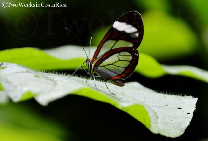 Clearwinged Mimic Butterfly | Two Weeks in Costa Rica
