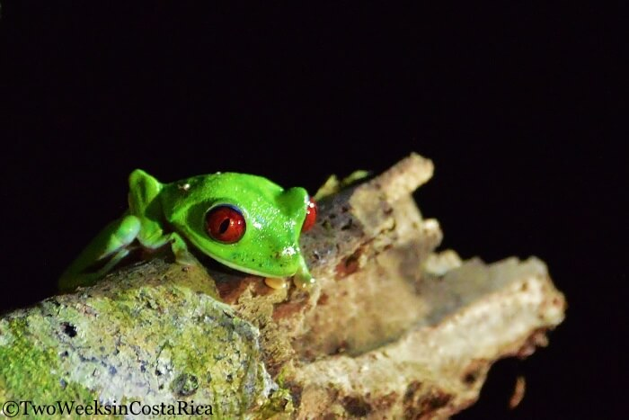 Red Eyed Tree Frog | Two Weeks in Costa Rica