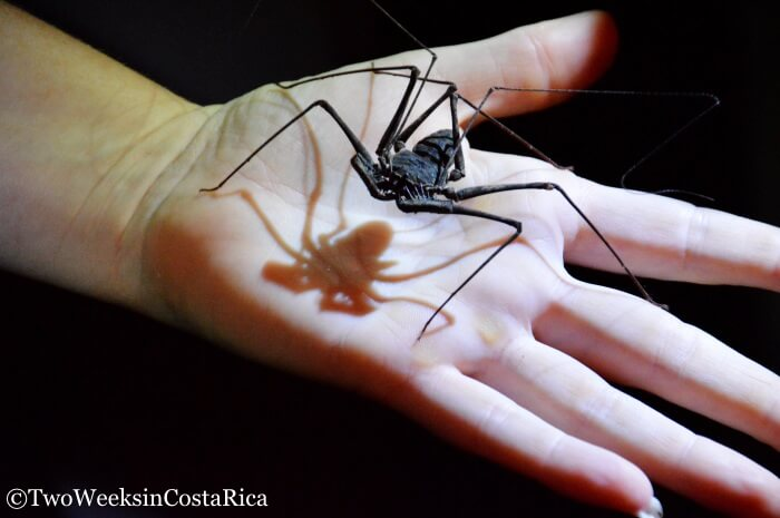 Tailless Whip Scorpion | Two Weeks in Costa Rica