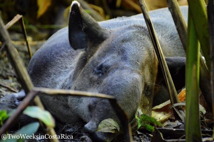 Baird's Tapir | Two Weeks in Costa Rica