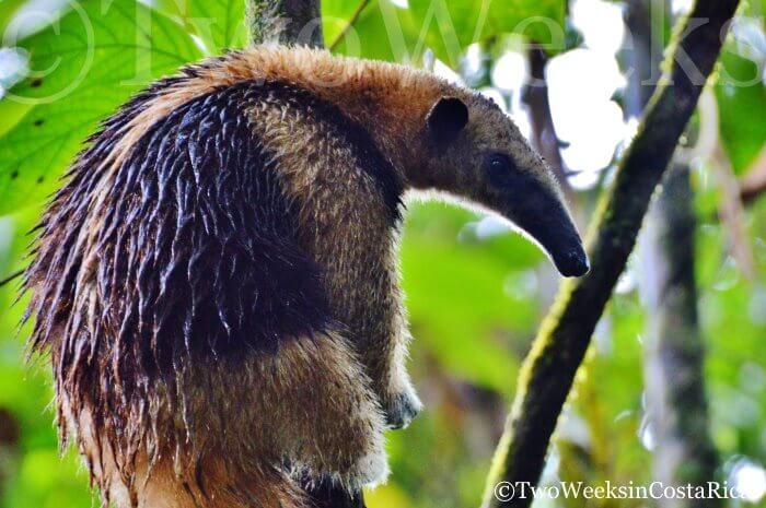 Northern Tamandua Anteater | Two Weeks in Costa Rica