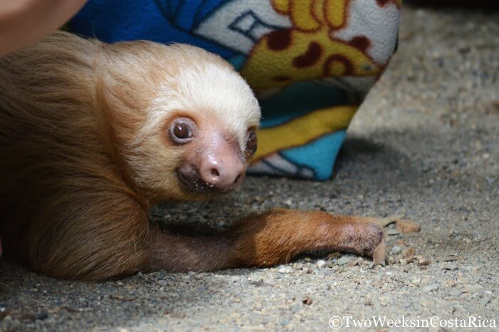 Sloth at Kids Saving the Rainforest | Two Weeks in Costa Rica