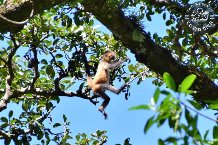 Spider Monkey Rincon de la Vieja National Park