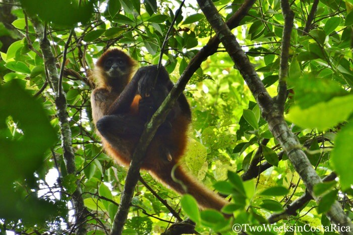Spider Monkey | Tips for Visiting Tortuguero National Park