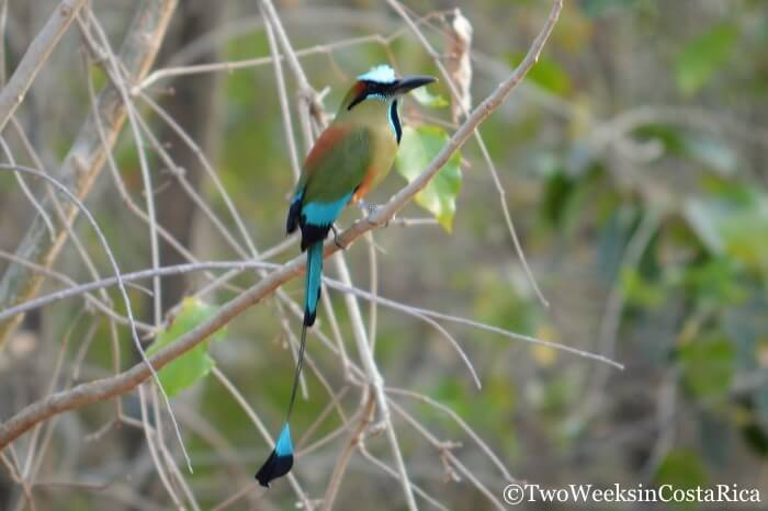 Turquoise-browed Motmot in Carara National Park, , a birding hotspot in Costa Rica.