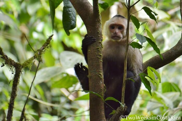 White-faced Monkey in Carara National Park. Lots of birds and wildlife to see at this park near Jaco, Costa Rica.