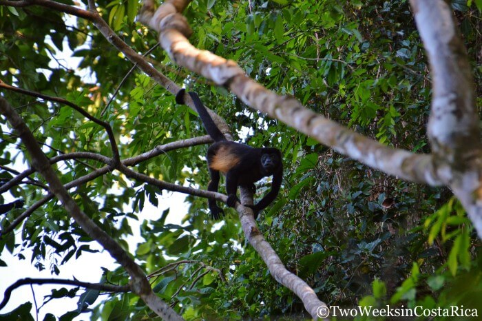 Howler Monkey on the trail to Playa San Josecito near Drake Bay