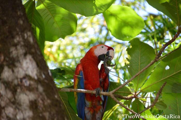 Scarlet Macaw | Playa San Josecito: Hiking and Snorkeling near Drake Bay
