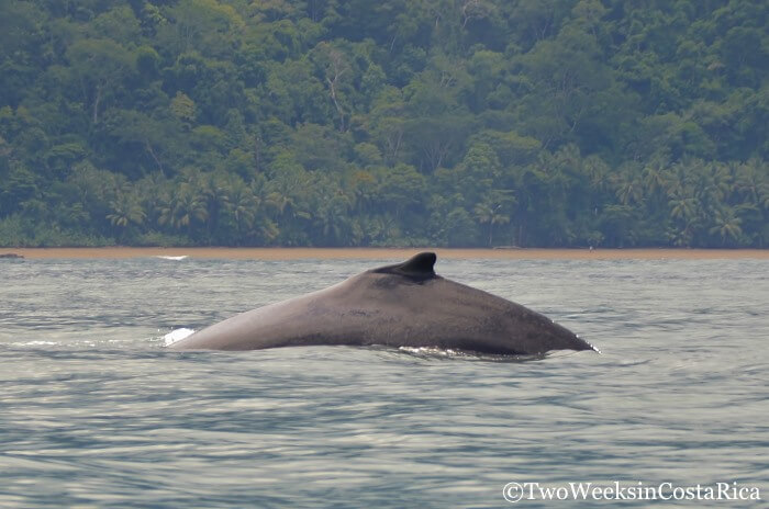 Whale Watching in Costa Rica | Two Weeks in Costa Rica