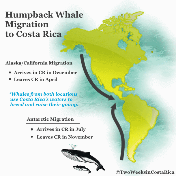Costa Rica Whale Migration Chart | Two Weeks in Costa Rica