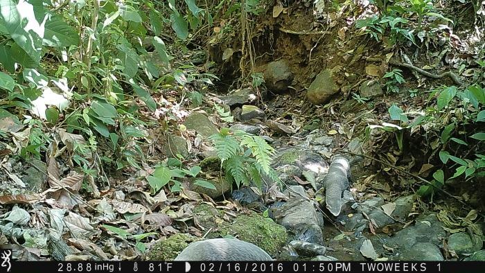 Using Trail Cameras in Costa Rica: Greater Grison | Two Weeks in Costa Rica