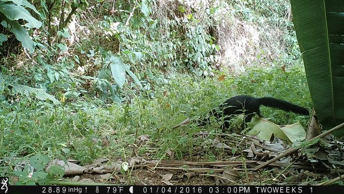 Using Trail Cameras in Costa Rica: The elusive Tayra | Two Weeks in Costa Rica