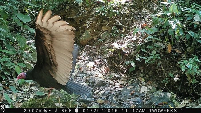 Using Trail Cameras in Costa Rica: Turkey Vulture | Two Weeks in Costa Rica