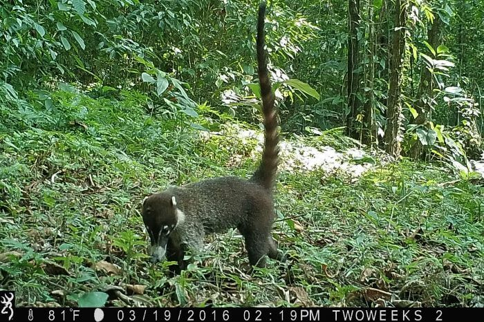 White-nosed coati Costa Rica