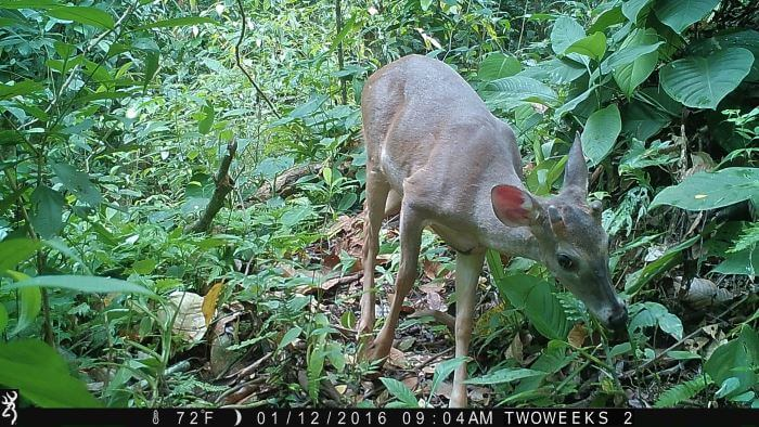 Using Trail Cameras in Costa Rica: White Tailed Deer | Two Weeks in Costa Rica
