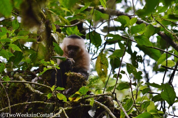 White-faced Monkey at the Monteverde Cloud Forest Reserve