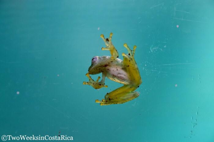 Frog Tour in Bijagua, Costa Rica