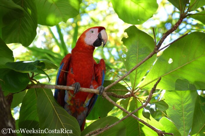 Scarlet Macaw in Esterillos Oeste, Costa Rica