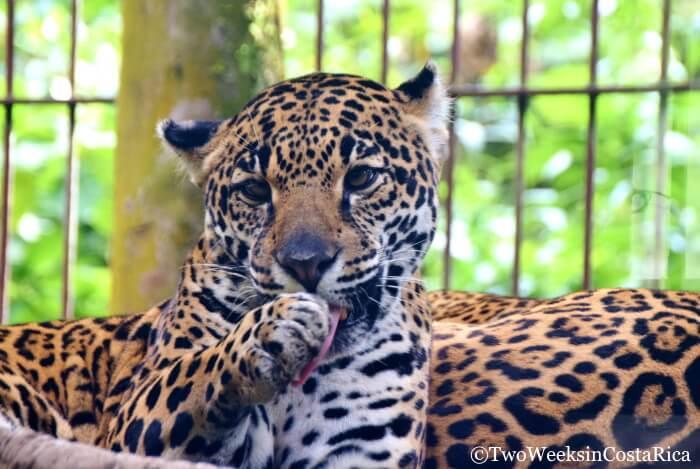 Jaguar at La Paz