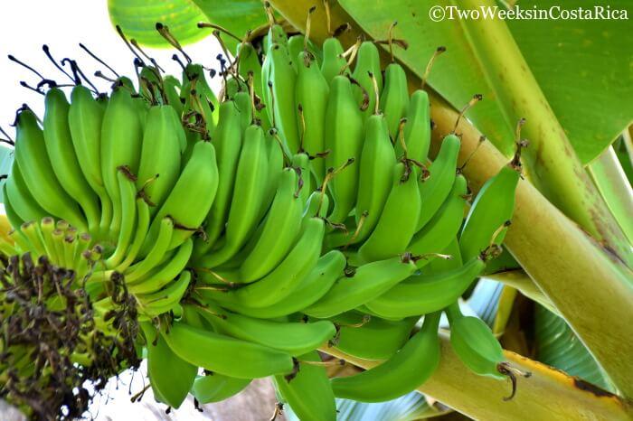 Banana Plant Costa Rica