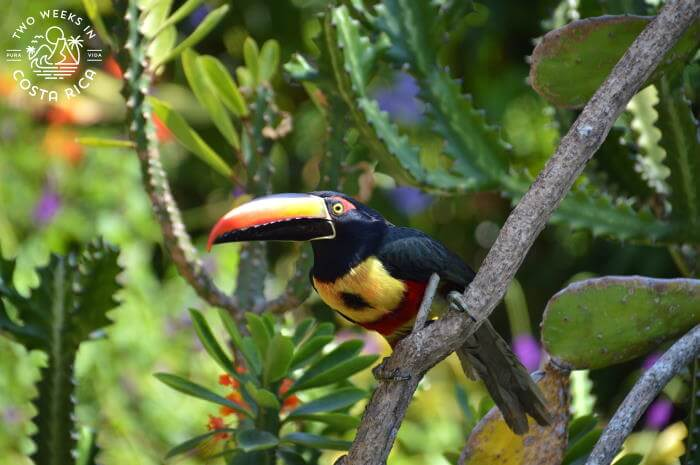 Aracari in Southern Pacific Costa Rica