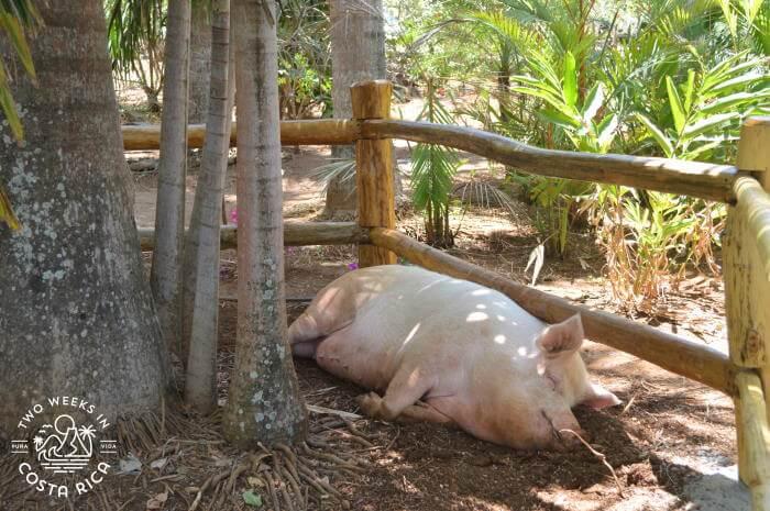 Pig at Lola's restaurant