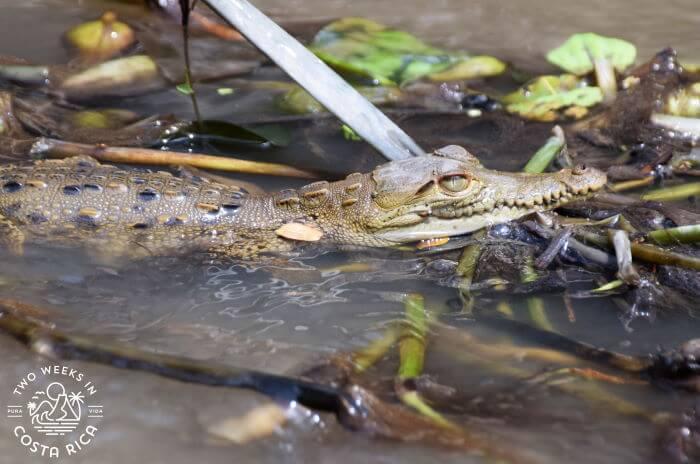 A baby crocodile in Guanacaste