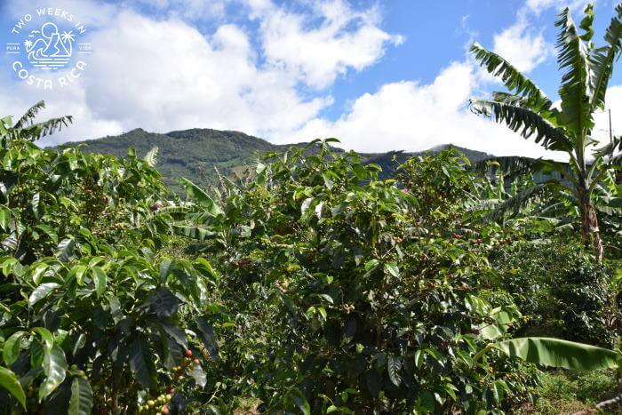 Coffee fields Santa Maria de Dota