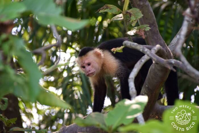 A white-faced monkey in Palo Verde