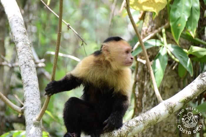 White Faced Monkey Cahuita