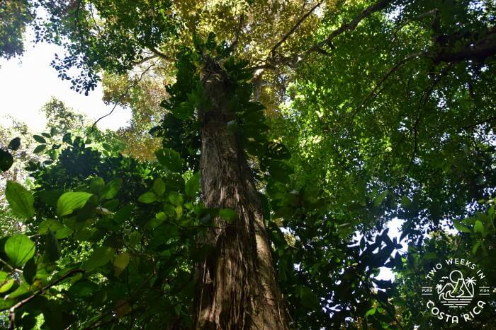 Huge trees Cabo Blanco