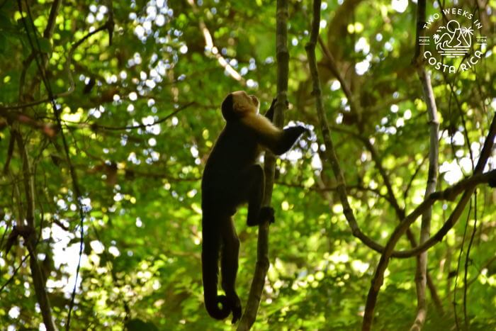 White-faced monkey in Cabo Blanco