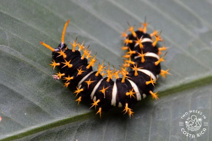 Oranged Spiked Catepillar Costa Rica