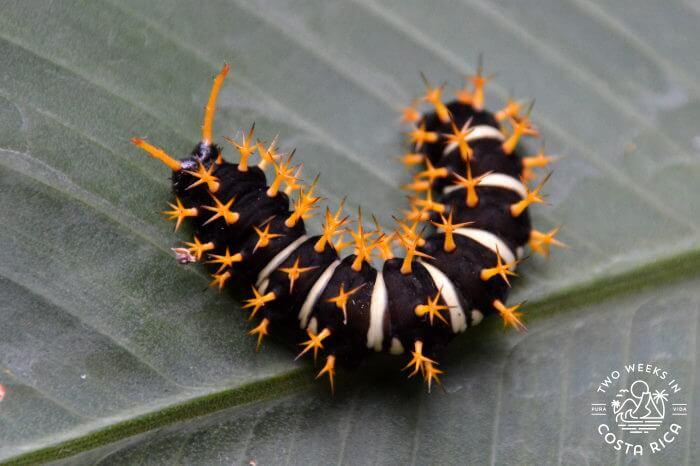 Oranged Spiked Catepillar Costa Rica